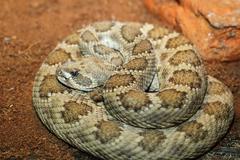 Captive crotalus viridis. prairie rattlesnake Stock Photos