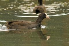 common coot ( fulica atra ) swimming on pond - stock photo