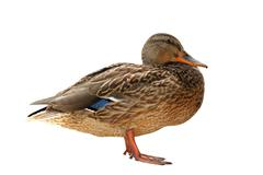 Female wild mallard duck  isolated over white background Stock Photos