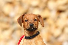 Portrait of cute little doggy ( puppy of hunting dog, vizsla ) Stock Photos
