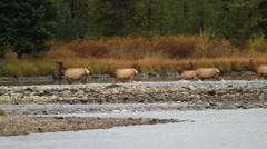 Bull Elk and Female Herd Crossing River Stock Footage
