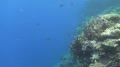 Sergeant major fishes 02 dahab Stock Footage