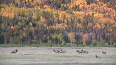 Rocky mountain elk herd Stock Footage