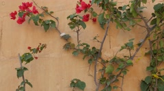 Flower on the wall Mdina Stock Footage