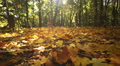 Gold  autumn  in  wood with bright leaves. Dolly shot HD Footage
