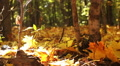 Beauty of  autumn  yellow wood. Dolly shot Footage