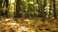 Beauty of  autumn in  yellow wood. Dolly shot  HD Footage
