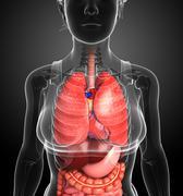 digestive system of female body - stock illustration