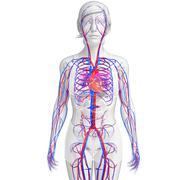 Female circulatory system Stock Illustration