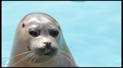 Common Seal (Phoca Vitulina) Close up in water - stock footage