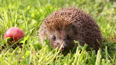 Hedgehog is walking and sniffing in the grass at summer, red apples around Arkistovideo