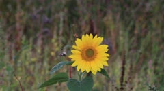 lonely sunflower in a wildflowers field - stock footage