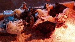 Group of chicks Stock Footage