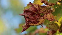 Dried Yellow maple leaf Stock Footage