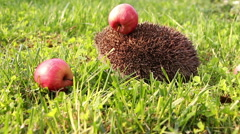 Hedgehog is walking and sniffing in the grass at summer, red apples around Stock Footage