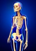 human skeleton side view - stock illustration