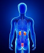 Male urinary system Stock Illustration