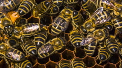 Honey Bees Eating In Honeycomb Stock Footage