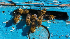 Group of Bees At The Entrance To Hive Stock Footage