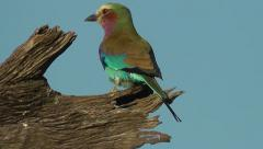 Lilac-breasted Roller sitting on a tree stump looking around Stock Footage