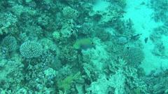 Parrot fish 05 dahab Stock Footage