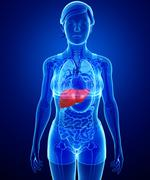 female liver anatomy - stock illustration