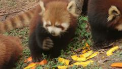 A Group of Red Pandas Eating Pumpkin in China 1 - stock footage