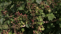 Dewberry bush twigs covered with black berry in garden Stock Footage
