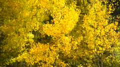 Stock Video Footage of Quaking Aspens New Mexico