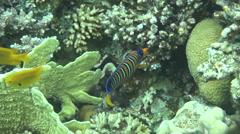 Royal angelfish dahab Stock Footage