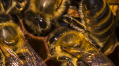 Macro: Bees Eating Honey On Honeycomb Stock Footage
