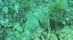Fish Red Sea 07 dahab Stock Footage