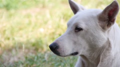 Close up of Pariah Dog with white hair Stock Footage