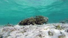 Cornetfish hunting Stock Footage