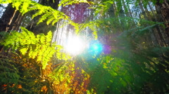 Beautiful deep forest with sun rays shining. Sun rising over forest trees - stock footage