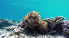 Maldive anemonefishes at the atoll reef in Maldives Stock Footage
