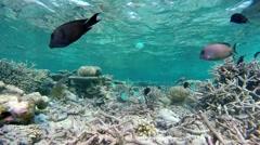 Maldives underwater - coral garden Stock Footage