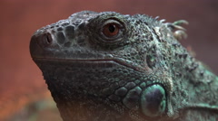 4K Iguana Lizard Head Face Eye Stock Footage