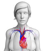 female heart anatomy - stock illustration
