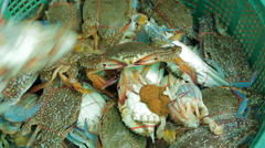 Close up video of a bushel basket of live blue crabs f Stock Footage