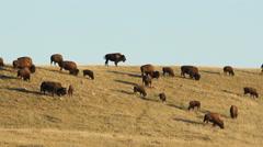 Herd of buffalo in Alberta, Canada. Stock Footage