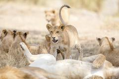 Cub playing in large lion pride at the savannah Kuvituskuvat