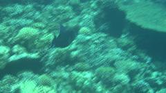 Blue triggerfish dahab Stock Footage