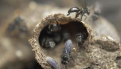 Small black bees Tetragonula in hive entrance Stock Footage
