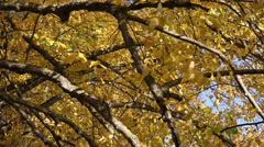 Yellow leaves on linden branches. Stock Footage