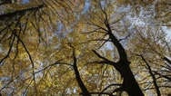 Stock Video Footage of Yellow leaves on linden branches.
