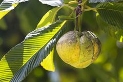 A chalta fruit on its tree dillenia indica in the botanical garden of mahe, s Stock Photos