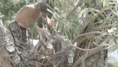 Bird feeding chicks (Robin) Stock Footage