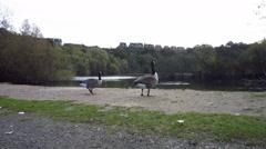 Ducks at Lake side bank Stock Footage