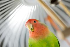 rosy faced lovebird in a cage - stock photo